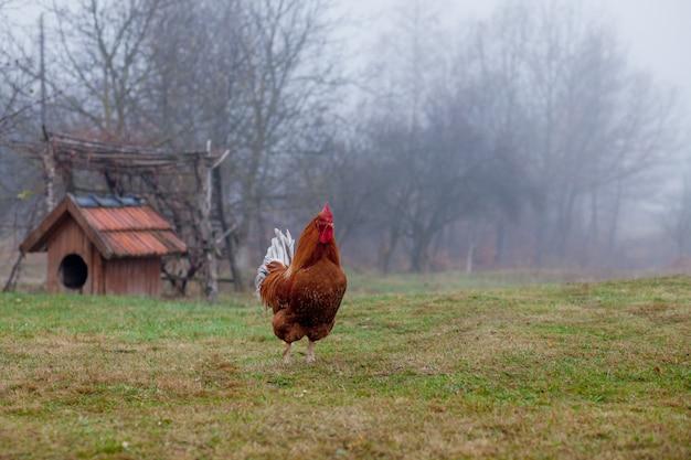 Bello gallo che sta sull'erba nel fondo vago di verde della natura