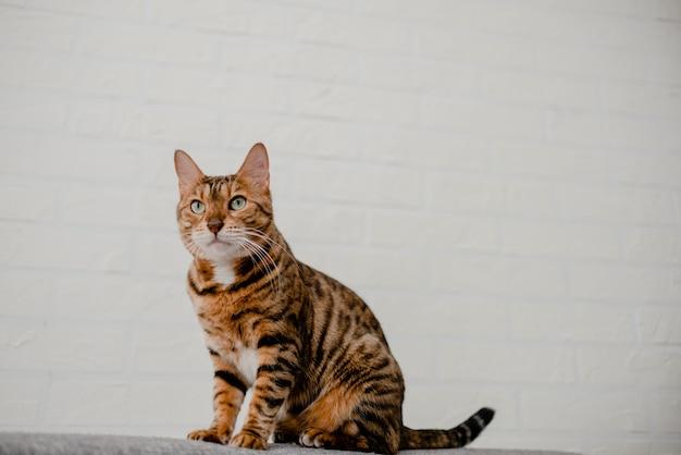 Bello gatto del bengala sveglio che si trova e che si siede sul sofà.