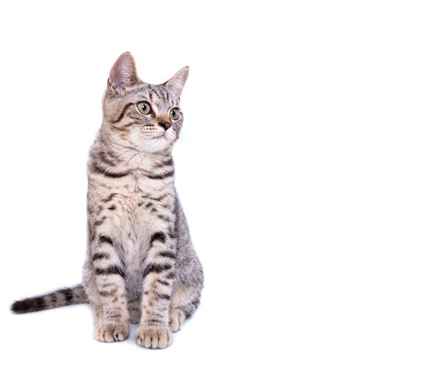 Bello gatto grigio isolato su un bianco