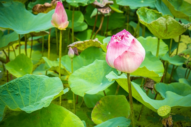 Bello germoglio rosa del loto in stagno, fondo della foglia.