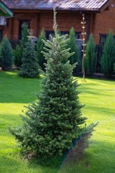 Bello giovane albero di natale attillato sempreverde nel giardino domestico sul prato inglese. architettura del paesaggio.