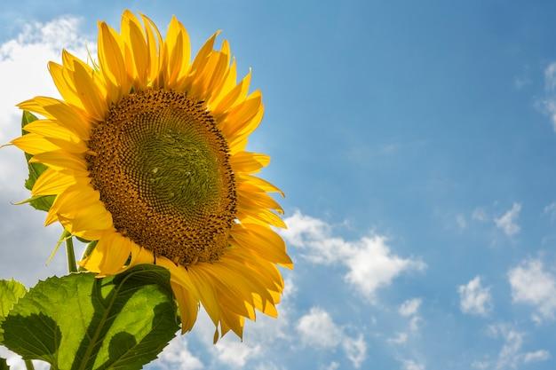 Bello girasole giallo nel campo contro il cielo blu con le nuvole bianche