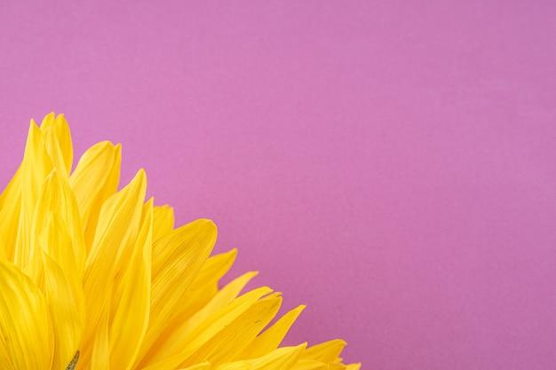 Bello grande, fiore giallo del girasole su un fondo rosso-chiaro, primo piano.