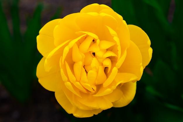 Bello grande germoglio di fiore giallo luminoso su una parete verde