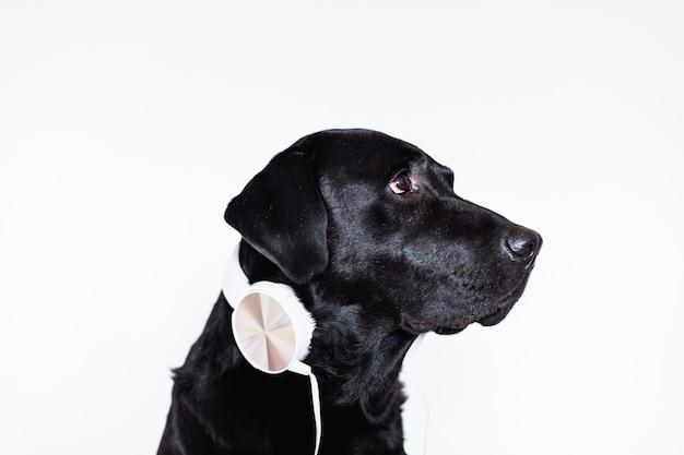 Bello labrador nero a casa ascoltando musica in cuffia