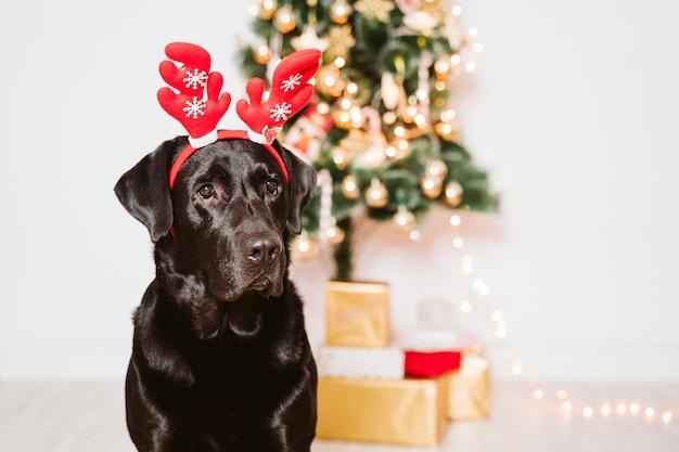 Bello labrador nero a casa dall'albero di natale. cane che indossa un divertente diadema di babbo natale