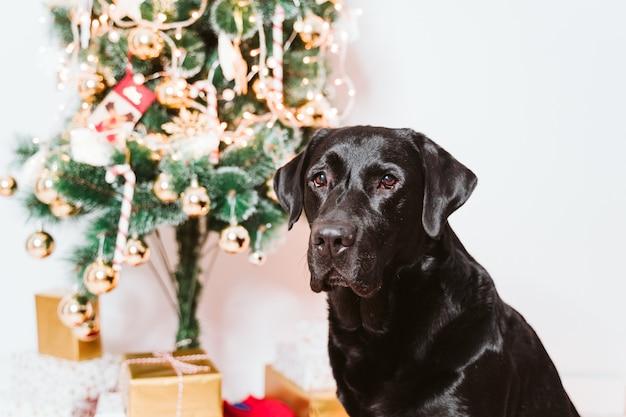 Bello labrador nero a casa dall'albero di natale