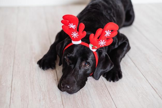 Bello labrador nero a casa indossando le corna di renna. concetto di natale