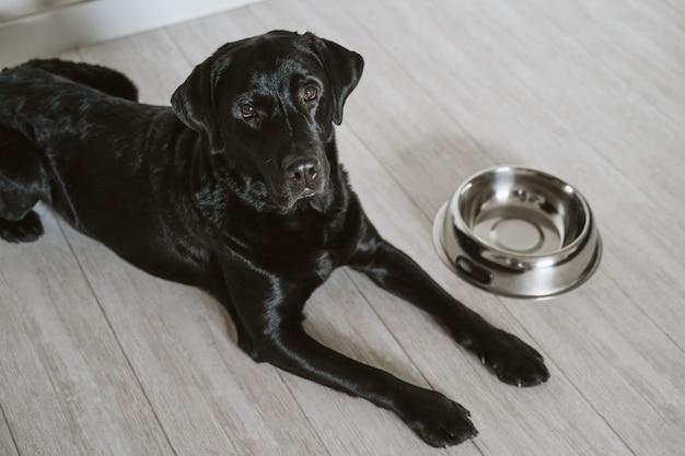 Bello labrador nero che aspetta per mangiare il suo pasto. a casa, al coperto