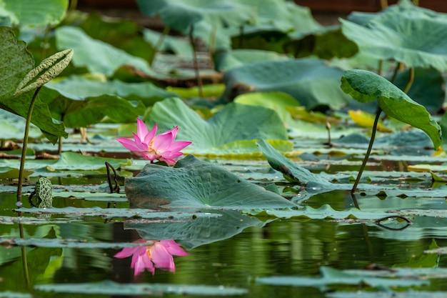 Bello loto rosa che fiorisce in uno stagno