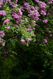Bello paesaggio con il vecchio albero lilla che sboccia nel giardino.