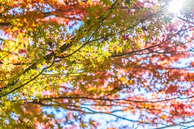 Bello paesaggio con l'albero della foglia di acero nella stagione di autunno