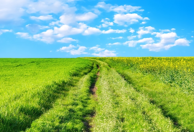 Bello paesaggio della molla con la strada campestre fra il giacimento di fioritura giallo del seme di ravizzone e il giacimento di grano crescente nel giorno soleggiato