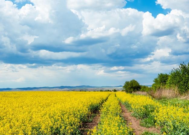 Bello paesaggio della molla con la strada nel giacimento di fioritura giallo del seme di ravizzone nel giorno soleggiato