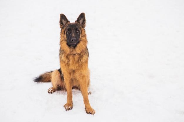 Bello pastore marrone che si siede sulla neve in un parco
