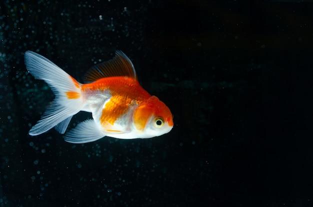 Bello pesce della natura del pesce rosso
