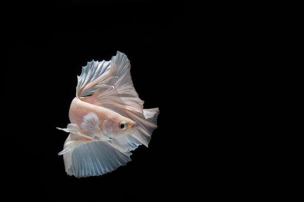 Bello pesce di betta di mezzaluna di azione del primo piano, pesce combattente siamese di betta in tailandia su fondo nero.
