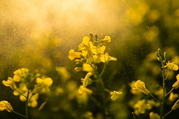 Bello primo piano di fioritura del giacimento della colza. focalizzazione morbida