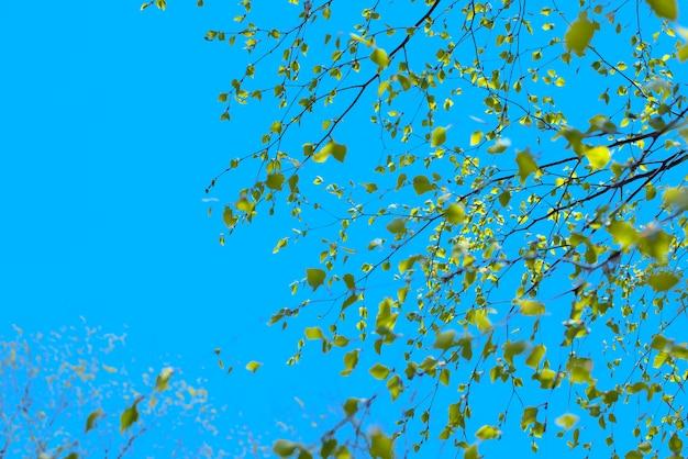 Bello ramo di betulla con le foglie verdi nel cielo.