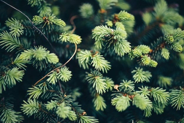 Bello ramo sempreverde del primo piano dell'albero di natale.