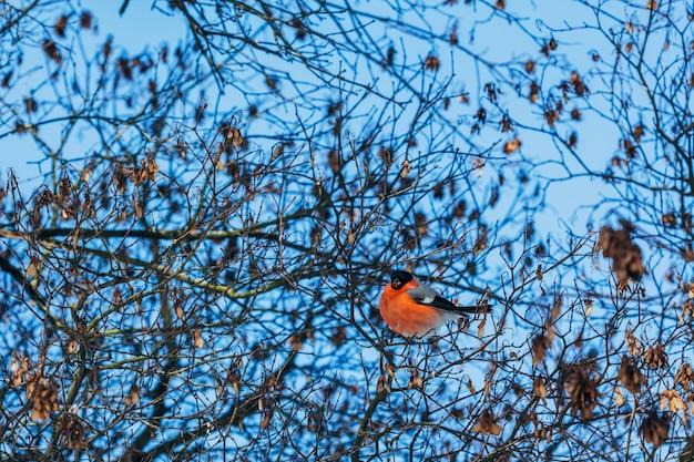 Bello uccello di un ciuffolotto che si siede sui rami di albero nell'inverno