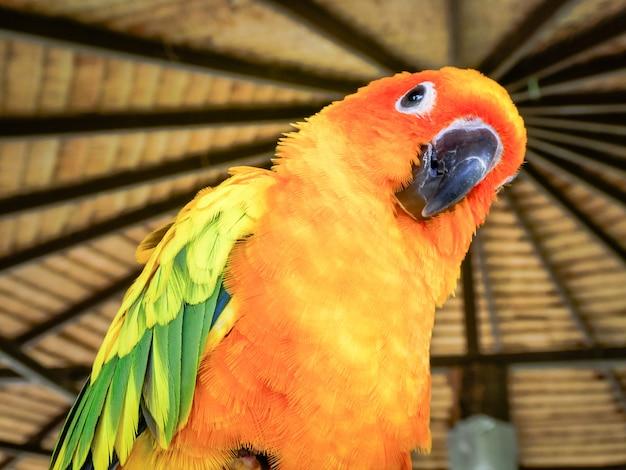 Bello uccello giallo e arancio del pappagallo di conuro del sole