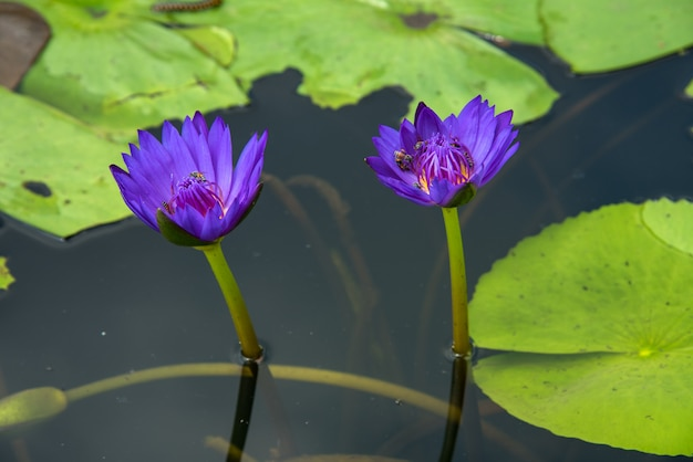 Bello waterlily o fiore di loto in stagno