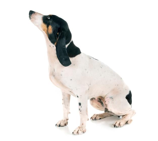 Bernese schweizer laufhund
