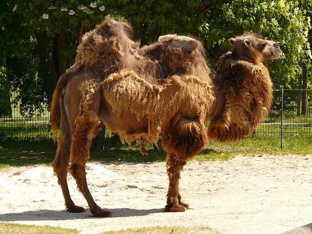 Bestia mammifero onere zweihoeckriges cammello