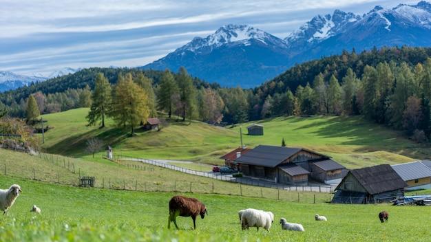 Bestiame al pascolo in campo