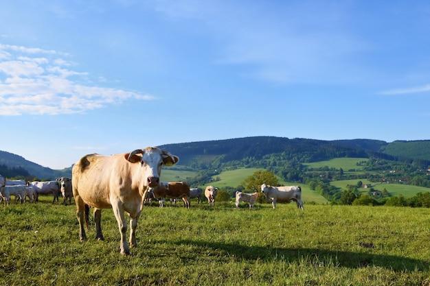 Bestiame al pascolo nel prato