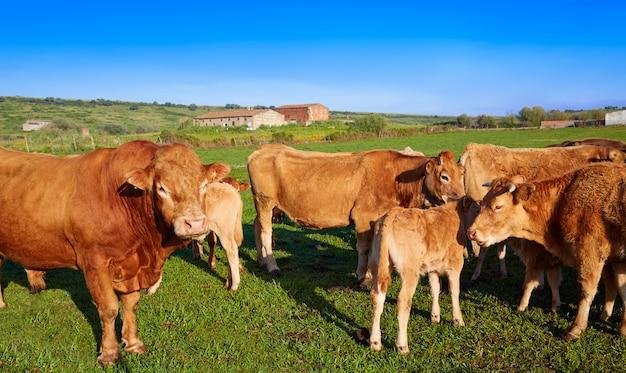 Bestiame da mucca in estremadura della spagna