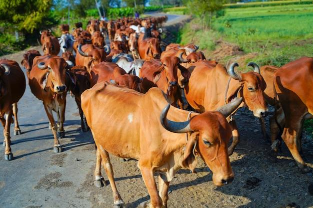 Bestiame indiano all'aperto