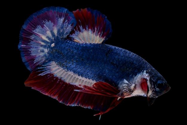 Betta pesce combattente su sfondo nero.