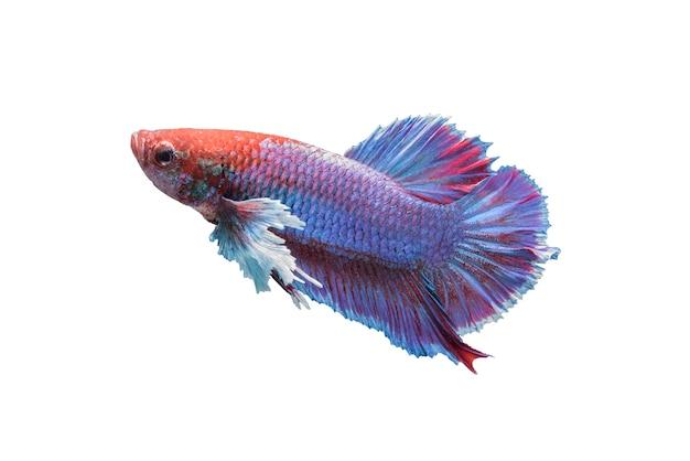Betta pesce isolato su sfondo bianco