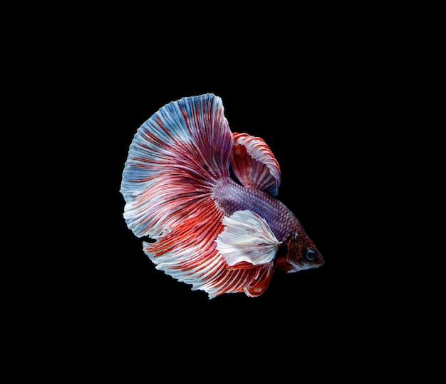 Betta pesce su fondo nero