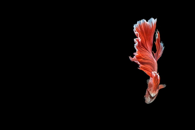 Betta splendens mezza luna rossa