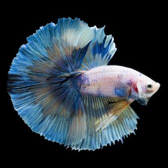 Betta splendens, pesce combattente siamese