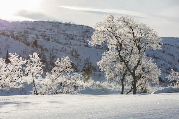 Betulle, betula pubescens, nel paesaggio montano invernale innevato retroilluminato.
