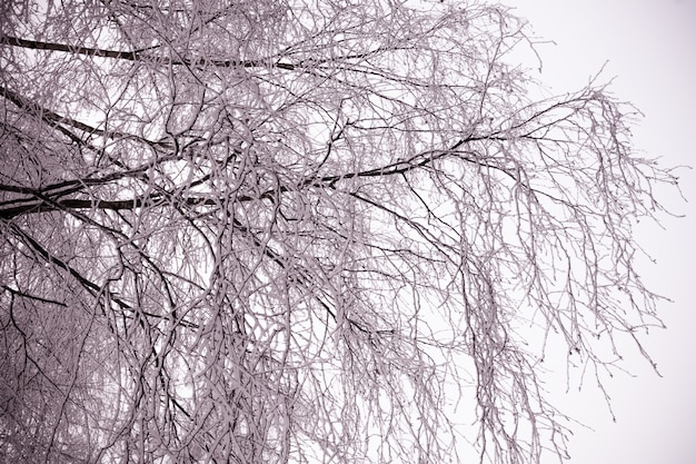 Betulle d'inverno