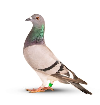 Bianco dell'isolato dell'uccello del piccione di corsa di velocità