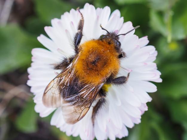 Big bumblebee che striscia su una margherita