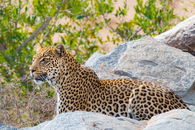 Big leopard in posizione di attacco pronto per un'imboscata tra rocce e cespugli