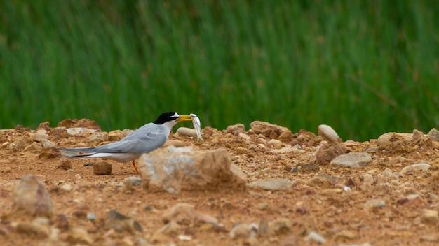 Bird of little tern feeder al piccolo uccello
