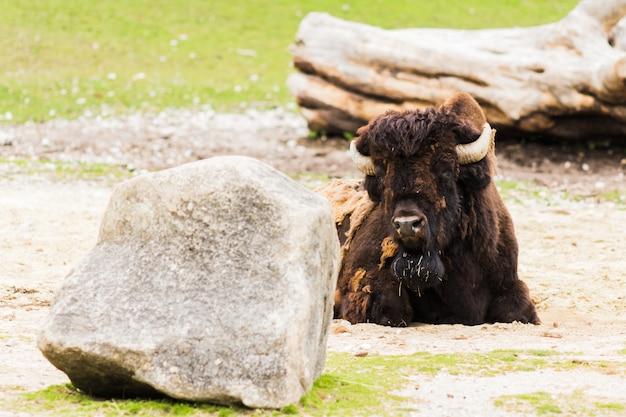 Bisonte americano (bisonte) che pasce nel prato