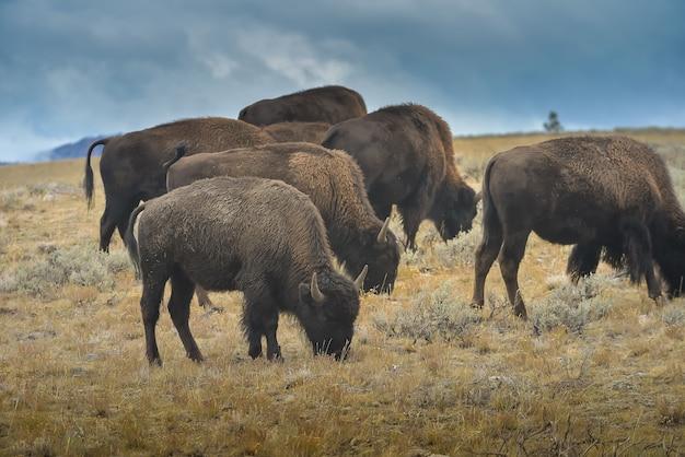 Bisonte selvaggio nel parco nazionale di yellowstone