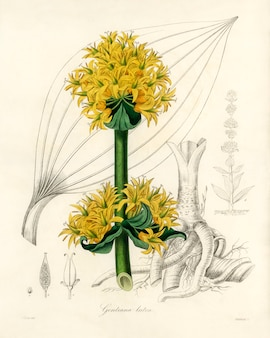 Bitter root (gentiana lutea) illustration from medical botany (1836)