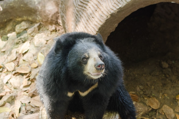 Black bear seduto