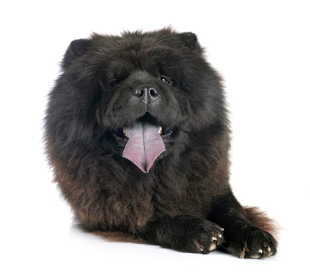 Black chow chow