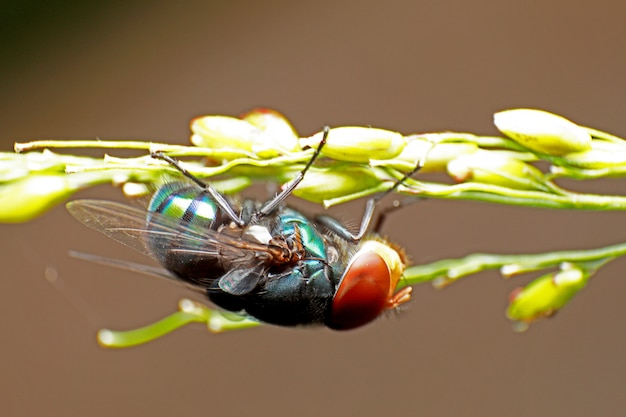 Blow fly, fly carogne, bluebottles o fly cluster.